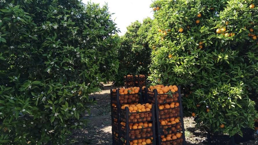 сбор урожая апельсинов в районе Кестель